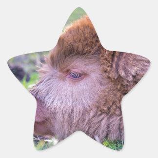 Head of brown newborn scottish highlander calf star sticker