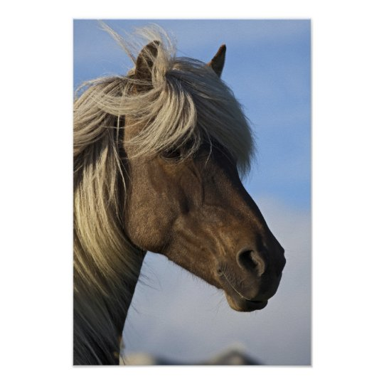 Head of Icelandic horse, Iceland Poster