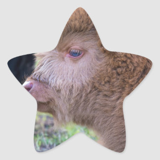 Head of lying Brown newborn scottish highlander Star Sticker