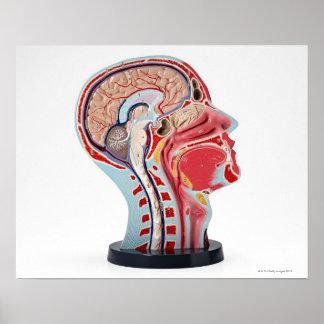 Head Section Model Print