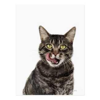 Head shot of a male domestic tabby cat licking postcard