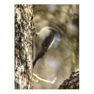 headless Hairy Woodpecker Postcard