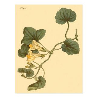 Heart-Leaved Snapdragon Botanical Illustration Postcard