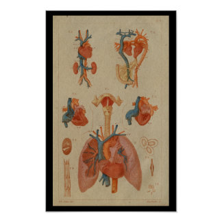 Heart Lungs Vintage Human Anatomy Print