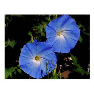 Heavenly Blue Morning Glory Postcard