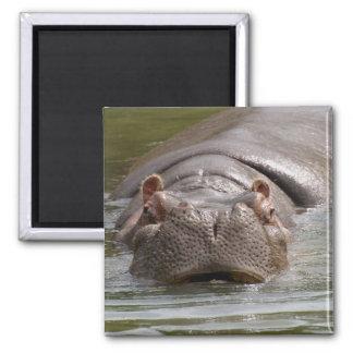 Heavy Hippopotamus Swimming In The Zoo Of Auckland Magnet