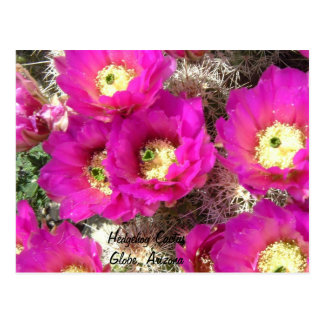 Hedgehog CactusGlobe, Arizona Postcard