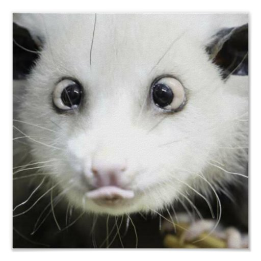 Heidi The Cross Eyed Opossum Poster