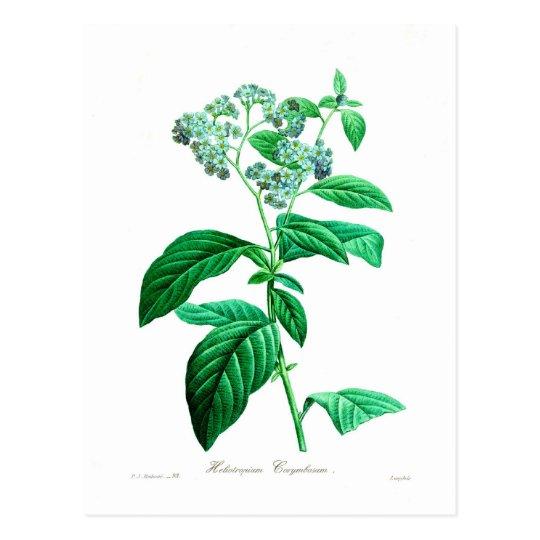 Heliotropium corymbosum postcard