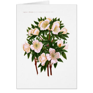 Helleborus niger (Christmas Rose) Card