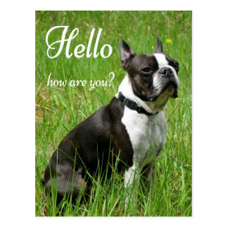 Hello Boston Terrier Puppy Dog Thinking of You Postcard