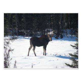 Hello Moose Photo Print