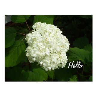 Hello-One Big Snowball Hydrangeas Flower Postcard