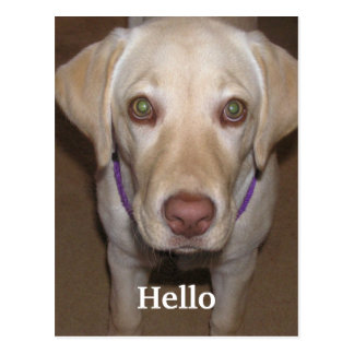 Hello Yellow Labrador Postcard