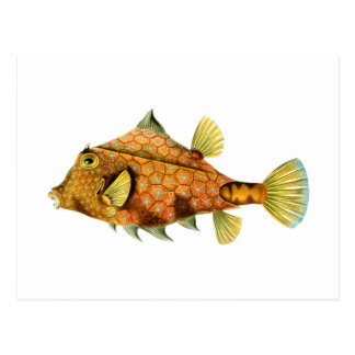 Helmet Cowfish Postcard