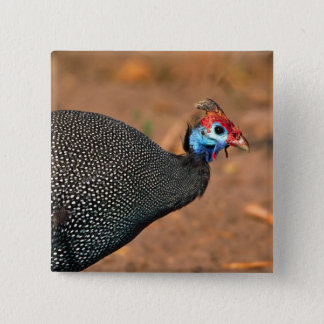 Helmeted Guinea Fowl (Numida meleagris). Africa, 2 Inch Square Button