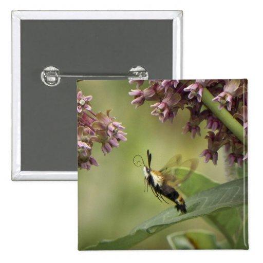 Hemaris Thysbe - Hummingbird Moth Button