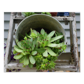 Hens And Chicks Succulents In A Bucket Nature Poster