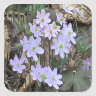 Hepatica Wildflower Plant Square Sticker