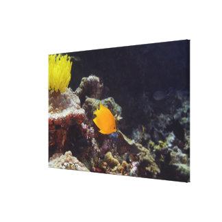 Herald's angelfish (Centropyge heraldi) swimming Canvas Print