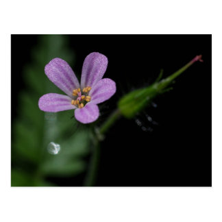 Herb Robert Pink Purple Wildflower Postcard