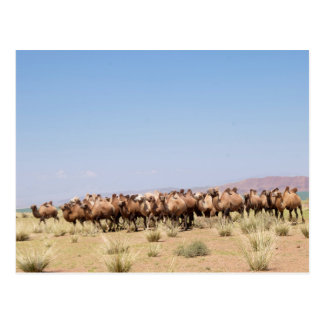 Herd of Bactrian Camels Postcard