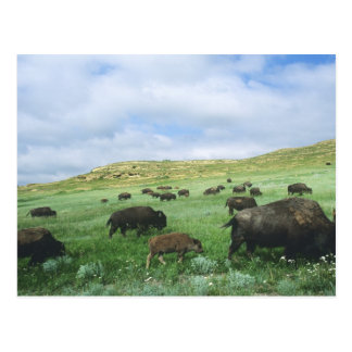 Herd of bison graze prairie grass at Theodore Postcard