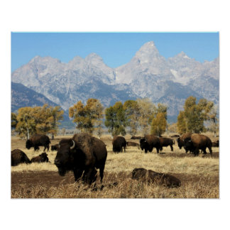 Herd of Buffalo Poster