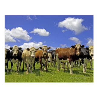Herd of cattle and overcast sky postcard