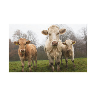 Herd of Cows in Pasture Canvas Print