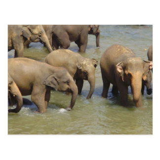 Herd of Elephants Postcard