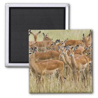 Herd of female Impala, Masai Mara, Kenya. Square Magnet