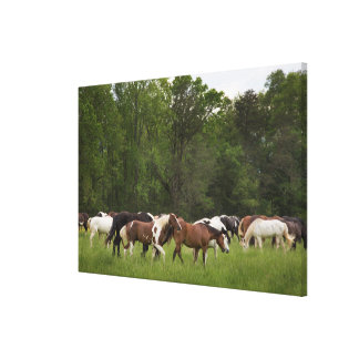 Herd of horses, Tennessee Canvas Print