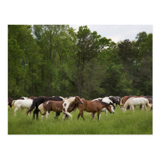 Herd of horses, Tennessee Postcard