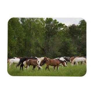 Herd of horses, Tennessee Rectangular Photo Magnet