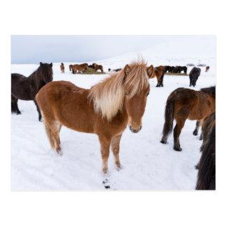 Herd of Icelandic Horses in Winter Postcard