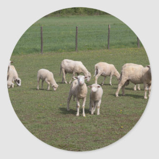 Herd of sheep round sticker