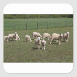 Herd of sheep square sticker