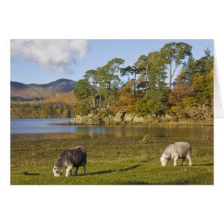 Herdwick sheep at Friars Crag, Derwentwater, 2 Card