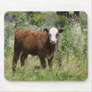 Hereford calf (Bos taurus) in prairie pasture Mouse Pad