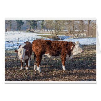Hereford calves in winter meadow with snow card