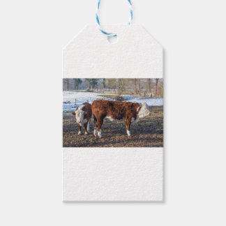 Hereford calves in winter meadow with snow pack of gift tags