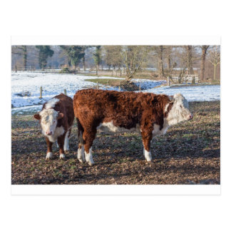 Hereford calves in winter meadow with snow postcard