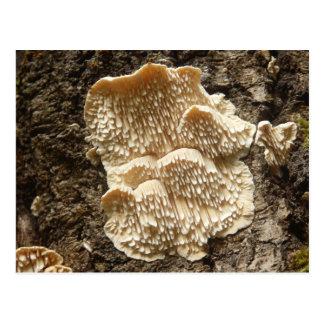 Hericium cirrhatum Mushroom Postcard