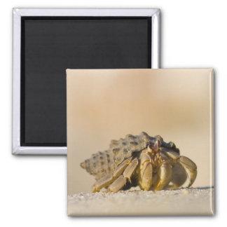 Hermit Crab on white sand beach of Isla Carmen Refrigerator Magnets