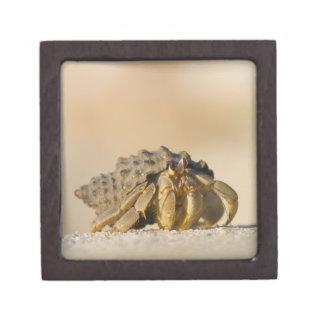 Hermit Crab on white sand beach of Isla Carmen, Premium Jewelry Boxes