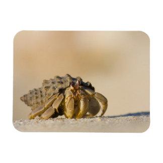 Hermit Crab on white sand beach of Isla Carmen, Rectangular Magnets