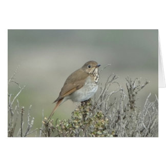 Hermit Thrush Card