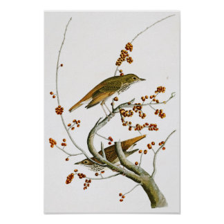 Hermit Thrush John James Audubon Birds of America Poster
