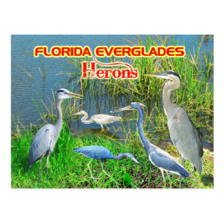 Herons of Everglades National Park, Florida Postcard